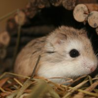 http://www.veterinariaanimaliesotici.it/wp-content/uploads/2011/11/Roborowski_Zwerghamster_001-200x200.jpg