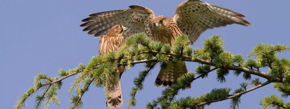 Rapaci da falconeria e selvatici