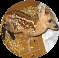 http://www.veterinariaanimaliesotici.it/wp-content/uploads/2016/11/Cervo-204x198.png