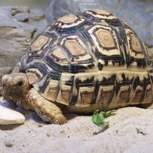 http://www.veterinariaanimaliesotici.it/wp-content/uploads/2016/11/Geochelone_pardalis_bw_01-300x300.jpg