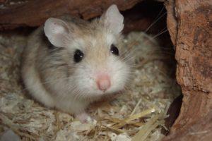 http://www.veterinariaanimaliesotici.it/wp-content/uploads/2016/11/Phodopus_roborovskii_front-300x200.jpg