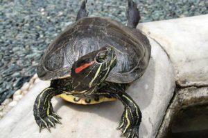 http://www.veterinariaanimaliesotici.it/wp-content/uploads/2016/11/Tortoise1_cepolina-300x200.jpg