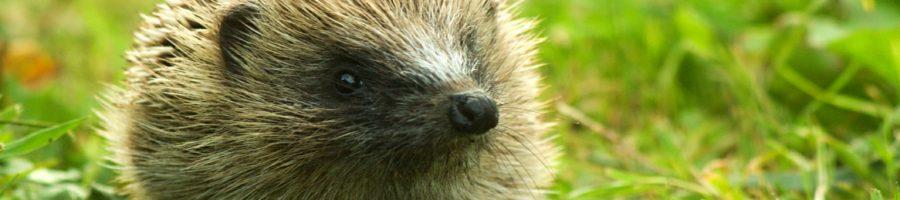 http://www.veterinariaanimaliesotici.it/wp-content/uploads/2017/01/Baby_Hedgehog-900x200.jpg